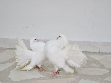 Porumbei nunta albi Nunta Bucuresti